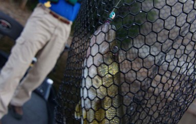 Walleye Where You Don't Expect Them