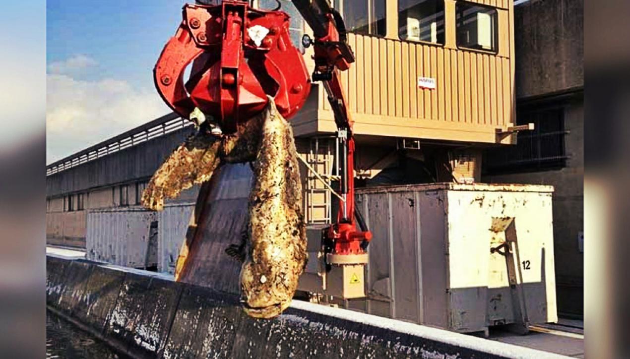 7-foot Giant Catfish Clogs Hydroelectric Dam in Austria
